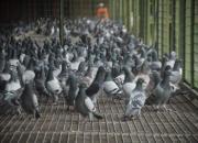 强豪们的特比幼鸽管理模式