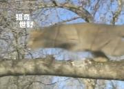 视频:野猫猎杀鸽子 快如闪电