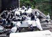 高温高湿防鸽病 注意八大事项