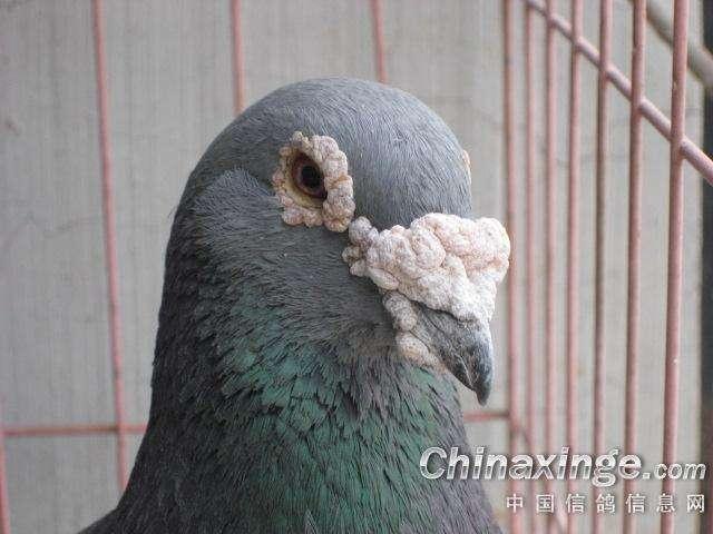 鸽问小黑板:信鸽鼻子的发病症状