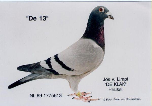 """每日一鸽:著名斗士""""613"""""""