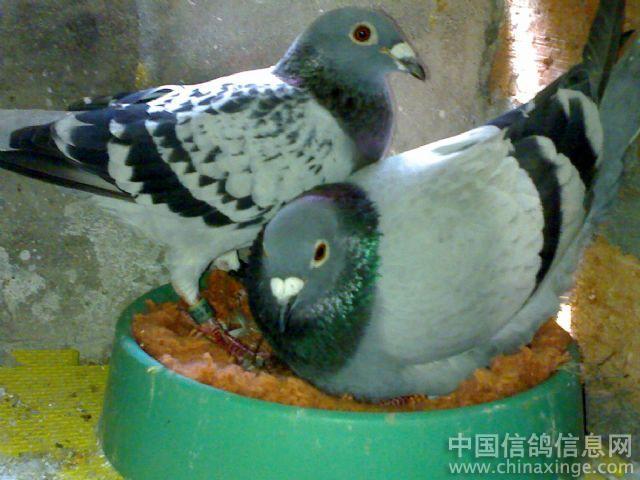 赛鸽健康生理与生物特性