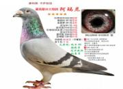 每日一鸽:卡萨铭鸽――阿玛尼