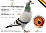 每日一鸽:鸽王冠军阿玛丽娅