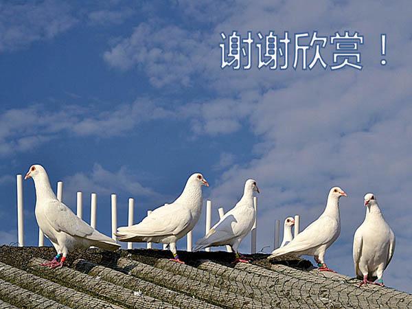 图集:白鸽中看不中用?苍白骑士领衔不服