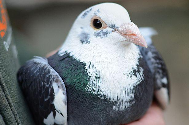 英国流浪汉在街道上捉鸽子吃 被警方当作犯罪来调查