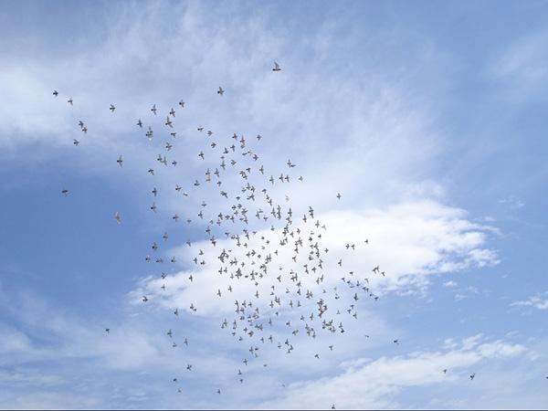 期待信鸽活动有法可依、规范发展