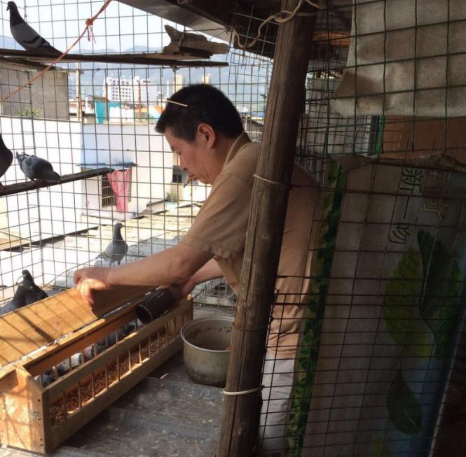 我的养鸽父亲:好鸽与价格无关 育种最让人着迷