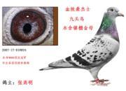 """每日一鸽:武汉张高明镇棚金母""""九头鸟"""""""