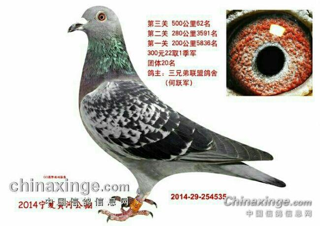 鸽友欣赏:好鸽子天上见-焦点图片新闻图片