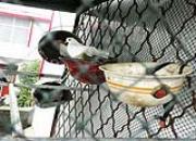养鸽新姿势:头盔铁桶当鸽窝