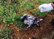 剖析赛鸽迷途之谜