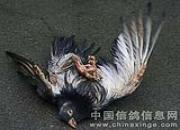 """每日一鸽:百岁名鸽""""班杰明二世"""""""