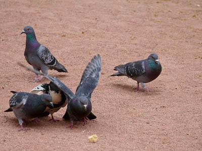 羽色越杂乱 鸽主水平越差