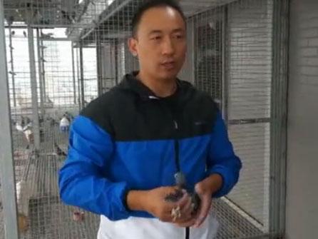 《赛鸽万象》视频节目成都名鸽展商系列报道:陕西天奕博翔鸽舍魏峰