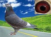 三大国血鸽的渊源及识别方法
