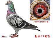 每日一鸽:北京05鸽舍头号种雄