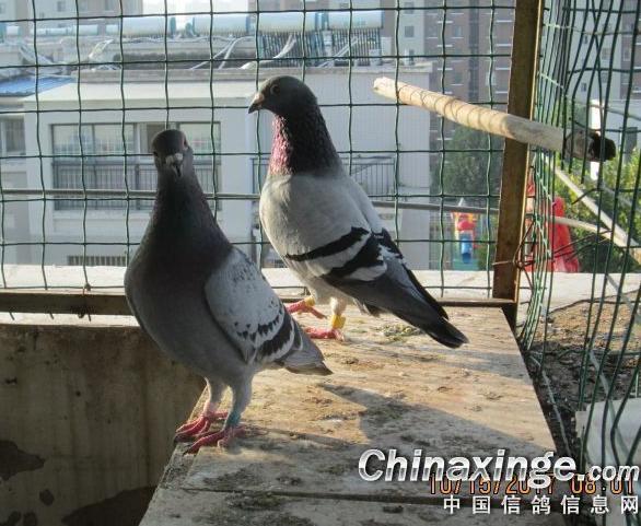 鸽友鉴赏:几羽爱鸽的生活照