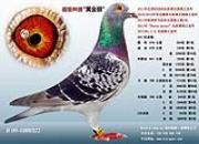 """每日一鸽:长距离鸽王""""黄金眼"""""""