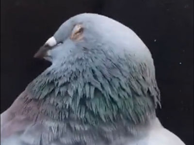趣味视频:醒醒鸽们 该上场比赛了!