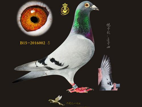 """每日一鸽:中国天一新进名鸽""""创纪录"""""""