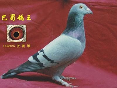 """每日一鸽:飞越2500公里的""""巴蜀鸽王"""""""