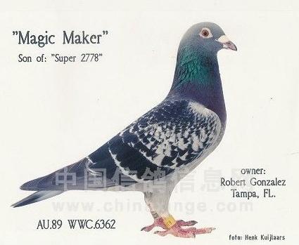 """每日一鸽:橡树园""""魔术师"""""""