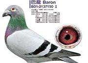 每日一鸽:冲锋鸽系巴龙150