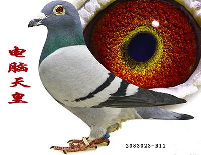 每日一鸽:传奇幼鸽电脑天皇