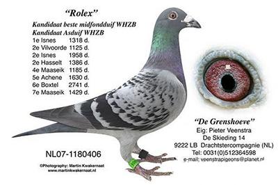 每日一鸽:最佳雄鸽劳力士