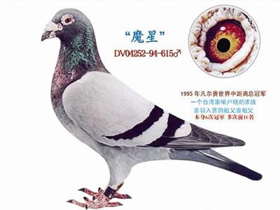 每日一鸽:辉煌种鸽魔星号