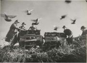 老照片:战争时期军鸽风采