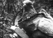 军鸽英勇事迹 流尽鲜血送情报