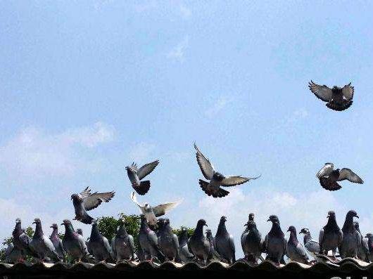 八月鸽子不飞的原因及对策