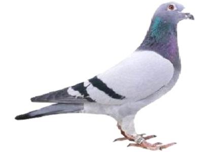 """每日一鸽:爱亚卡普超级冠军鸽""""奇迹号"""""""
