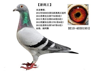 """每日一鸽:长距离冠军""""新鸽王"""""""