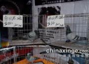 专题:廊坊国际鸽展盛况空前 已圆满落幕