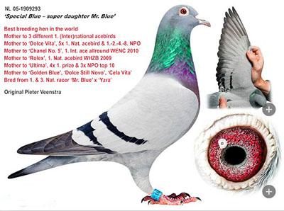 """每日一鸽:全球第一的种母""""特殊灰"""""""