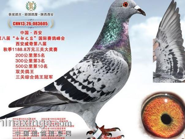 每日一鸽:西安威奇三关超级鸽王