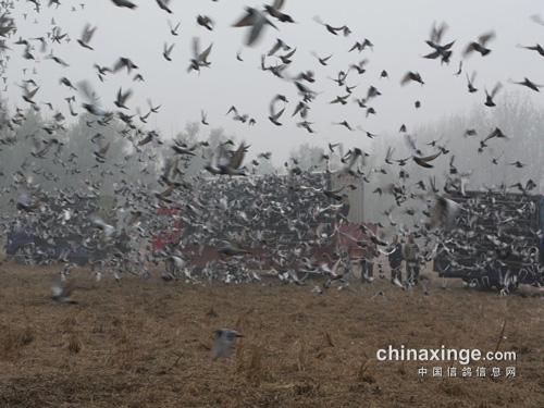 千里勇归巢:历年全国千公里冠军鸽欣赏