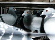 四川红军公棚决赛今日集鸽