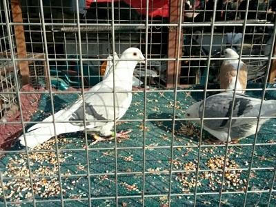 逛逛喀什鸽市 瞅瞅观赏鸽