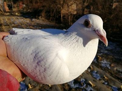 肝脏功能好的鸽子才有羽泡?