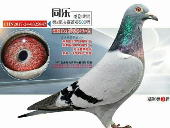 还是实战型种鸽比较靠谱
