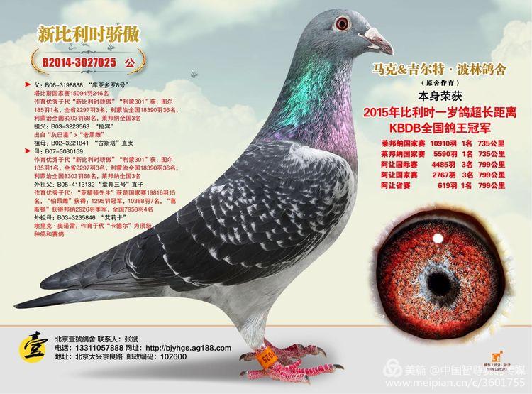 又一羽天价鸽王落户中国