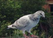 冬至时节话养鸽