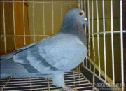 冬季种鸽繁育中药配方设计