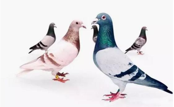 最傻就是主动当别人的鉴鸽师傅