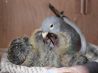 冬季种鸽的喂养 绝不能放纵