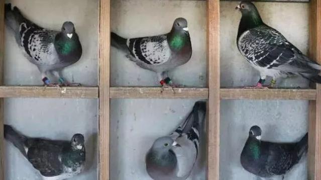 鸽子卖给谁很重要